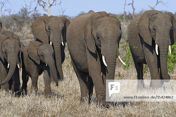 African bush elephants (Loxodonta africana)  elephant cows with young  walking on dry grass  Kruger National Park  South Africa  Africa.
