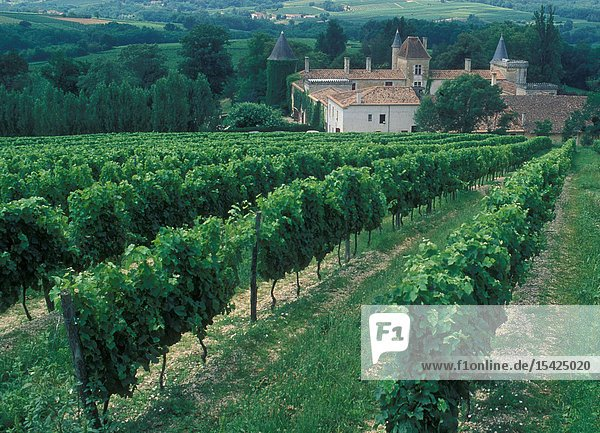 France: The grapes of the wine yards in the Region Bordeaux.