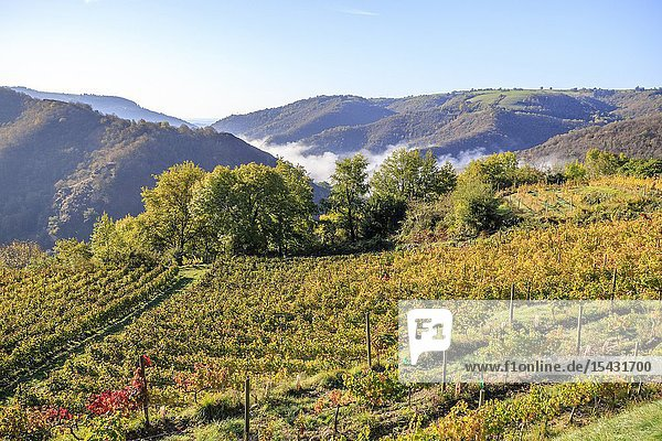 France  Aveyron  Conques  labelled Les Plus Beaux Villages de France (The Most Beautiful Villages of France)  stop on El Camino de Santiago  vines dominating the village of Conques  vineyard in organic farming.