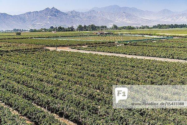 Tacama wine cellar  the oldest winery in America  Ica  Peru.