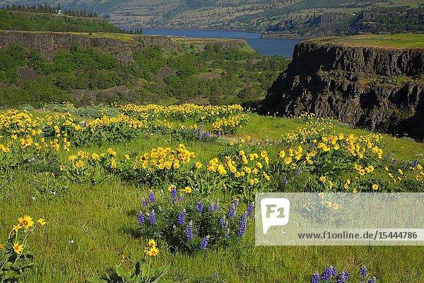 Lupine with Balsamroot (Balsamorhiza deltoidea)  Tom McCall Preserve  Columbia River Gorge National Scenic Area  Oregon.