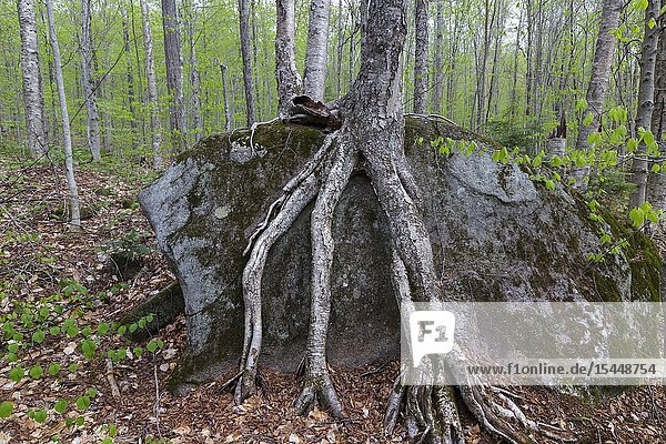 Birch tree roots around a boulder in North Woodstock  New Hampshire.