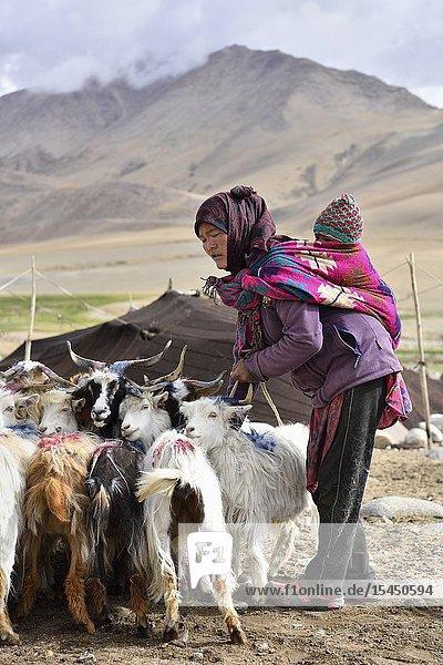 India  Jammu & Kashmir  Ladakh  Tso Moriri lake surroundings  Ladakhi nomad gathering goats for milking.
