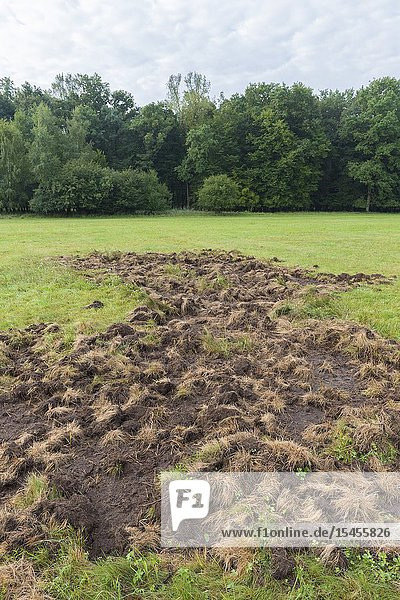 Game damage from wild boars on meadow  Germany  Europe.