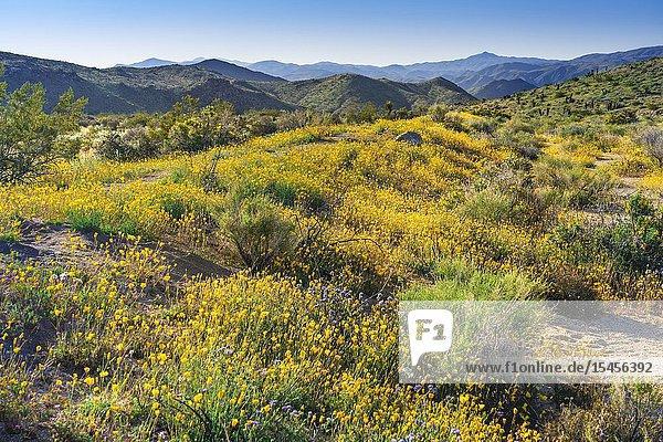 Spring wildflowers blooming in Joshua Tree National Park  California  USA.