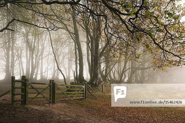 Trees in a misty autumn morning at Drove Road in the Quantock Hills near Crowcombe  Somerset  England.