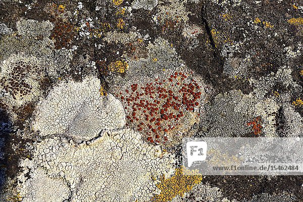 Caloplaca crenularia is a crustose lichen. This photo was taken in Alt Emporda  Girona province  Catalonia  Spain.
