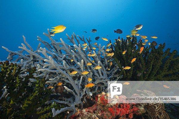Anthias over Coral Reef  Tufi  Solomon Sea  Papua New Guinea.