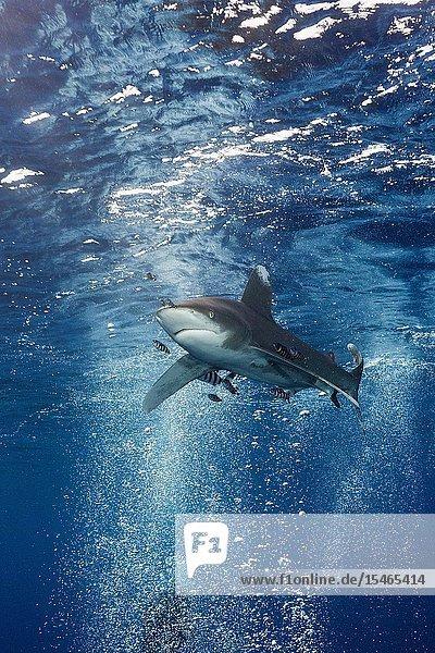 Oceanic Whitetip Shark  Carcharhinus longimanus  Atlantic Ocean  Bahamas.