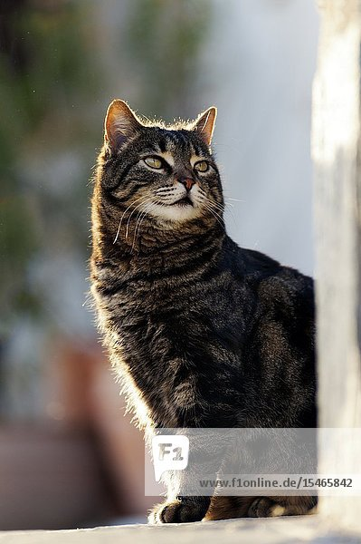 Portrait of a domestic cat sitting outdoors.