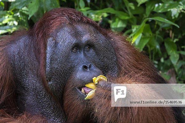 Male Bornean orangutan (Pongo pygmaeus) with full cheek pads  Semenggoh Rehabilitation Center  Sarawak  Borneo  Malaysia  Southeast Asia  Asia