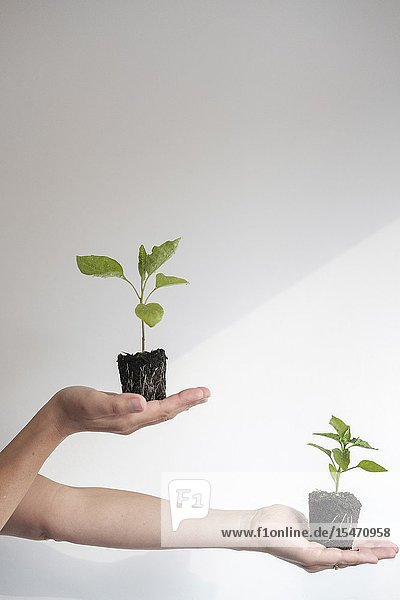 Woman holds young Aubergine (Solanum Melongena) and Peper (Capsicum Annuum) plants. Growth Concept.