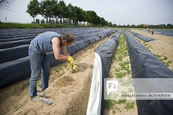 Limburg  The Netherlands. Polish labour immigrant harvesting asparagus at a farm's field. Seasonal work done by cheap  seasonal workers cases lot's of immigrants to travel from Eastern Europe to The Netherlands.