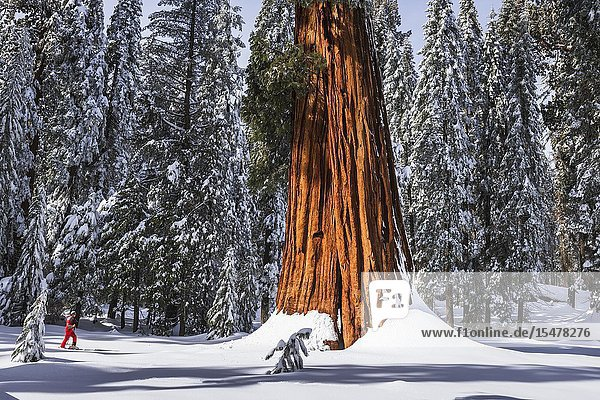 Skier under a Giant Sequoia in Circle Meadow  Sequoia National Park  California USA.