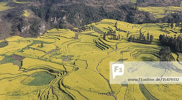 Canola fields  also called rapeseed flowers  in Luoping - China.