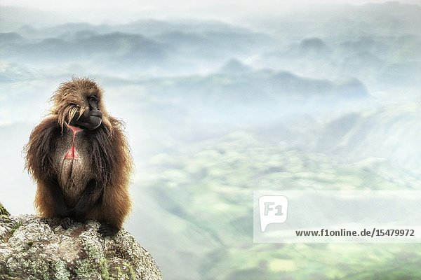 Gelada baboon in Simien Mountains National Park  Northern Ethiopia.