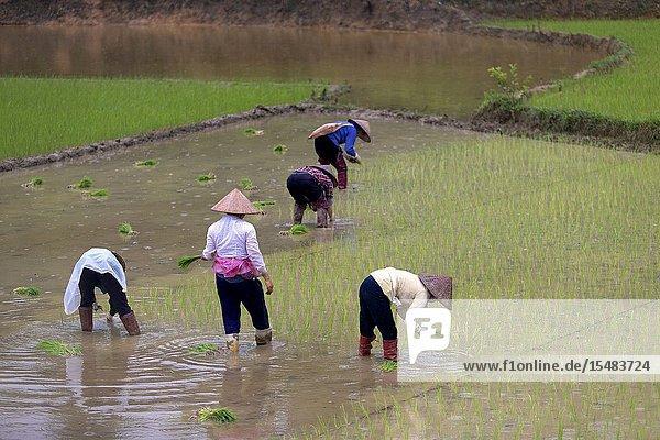 Women working in a rice field  near Bac Ha  Lao Cai Province  Vietnam  Asia.