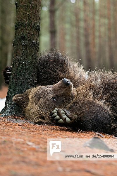 European Brown Bear / Braunbaer ( Ursus arctos )  playful cub  lying  rolling on its back  scratching  itching on the ground  looks cute and funny  Europe.