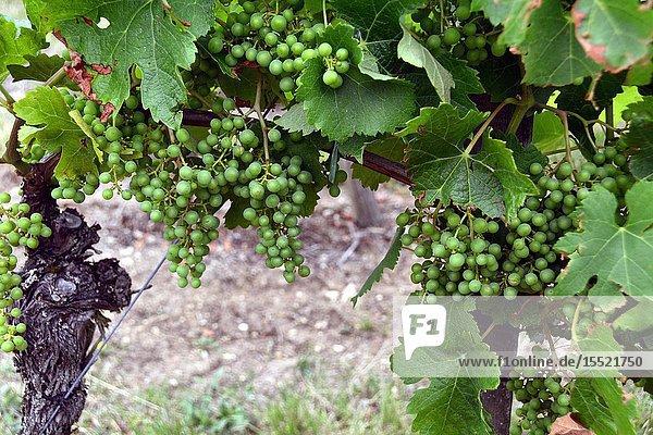 Vineyards begining of July  Belvès-de-Castillon  Bordeaux wine region  Gironde department  Département Gironde  region Aquitaine  Nouvelle-Aquitaine  France  Europe