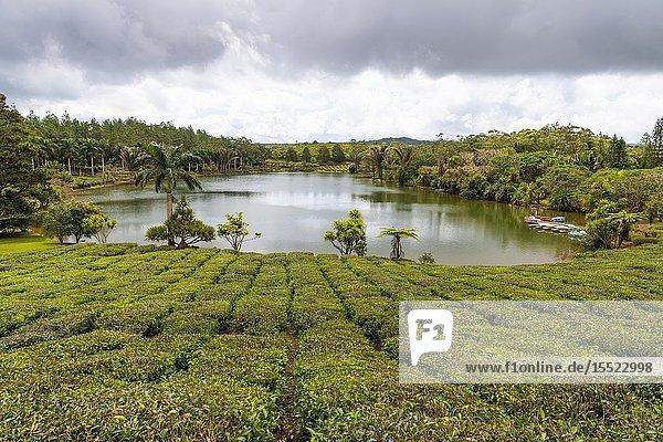 The tea plantations of Bois Cheri tea factory. Bois Cheri  Savanne  Mauritius  Africa.