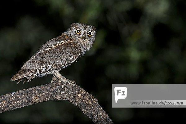 Scops owl during night hunting  La spezia provincie  Liguria district  Italy  Europe.