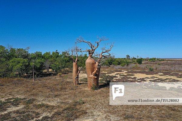 Baobab tree  Adansonia sp. at Belo sur Mer  Morondava district  Madagascar.