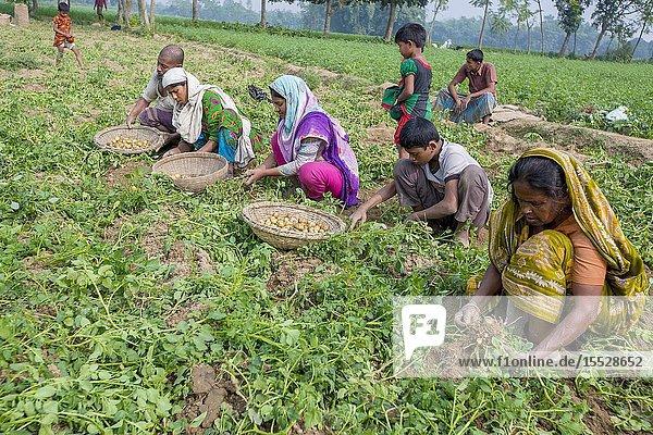 Bangladesh - November 25  2014: Potato Harvesting - Local women gathers potatoes in their fields at Thakurgong  Bangladesh.