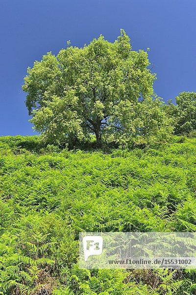 Pyrenean Oak (Quercus pyrenaica)  Sierra de Gredos  Castile-Leon  Spain