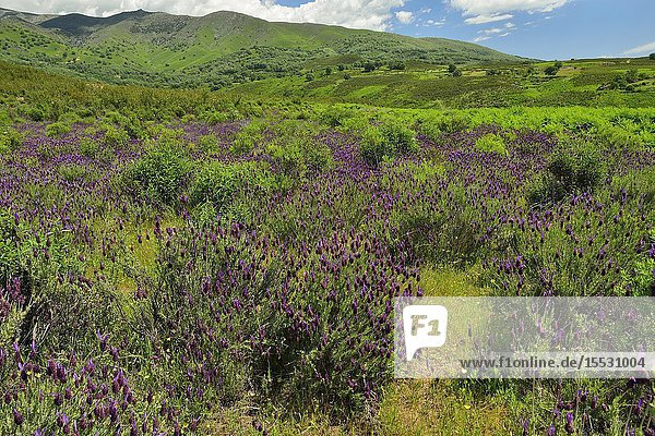 French lavender (Lavandula pedunculata) flowers on the southern slope of the Sierra de Gredos. Spain