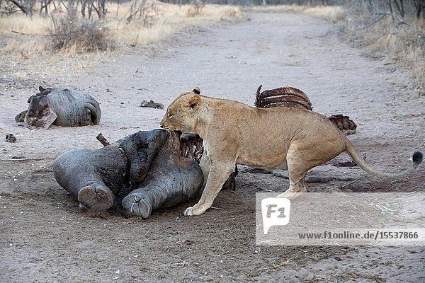 Lioness (Panthera leo) feeding on kill. Kruger National Park. South-Africa.