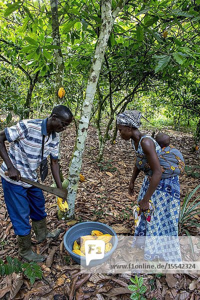 Cocoa planters harvesting in their plantation near Agboville  Ivory Coast.