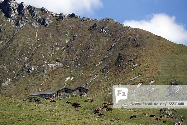 French Alps. Beaufort cheese. The milk used comes from the Tarine cows that graze in the high pastures. Peisey Nancroix. France.