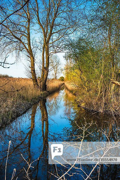 Scenic landscape reed beds reflected in waterway in warm evening light on Wicken Fen nature reserve  Cambridgeshire  England  UK.