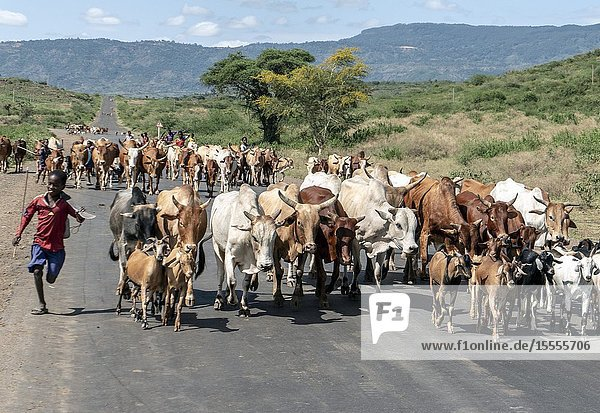 Running boy herds cattle on road. Ethiopia.