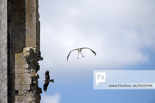 White stork in flight (Ciconia ciconia) and black kite ( Milvus migrans) France.