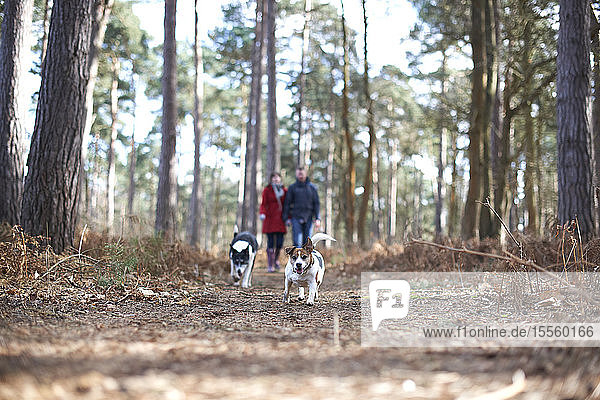 Dogs running ahead of couple hiking in autumn woods
