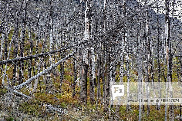 A hillside charred by a ravaging wild fire in Glacier National Park  in Montana  slowly begins to recover.