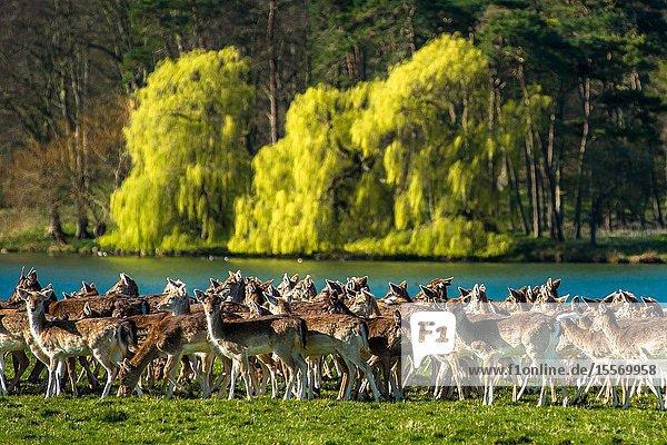 Herd of Fallow deer next to Holkham park lake  Holkham Hall  North Norfolk  East Anglia  England  UK.