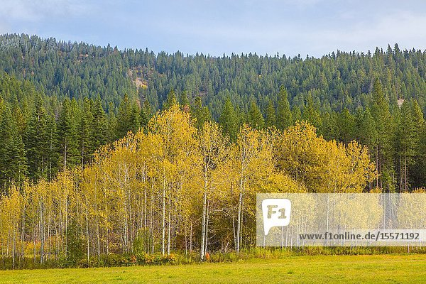 Fall colors in a stand of birch trees set against a backdrop of evergreen trees in the Pacific Northwest.