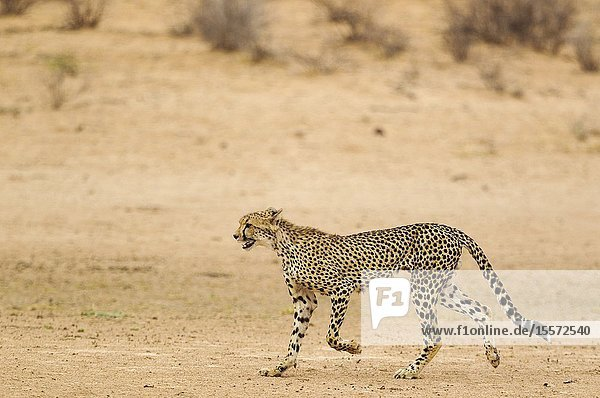 Cheetah (Acinonyx jubatus). Subadult male. Roaming in the dry and barren Auob riverbed during a severe drouight. Kalahari Desert  Kgalagadi Transfrontier Park  South Africa.