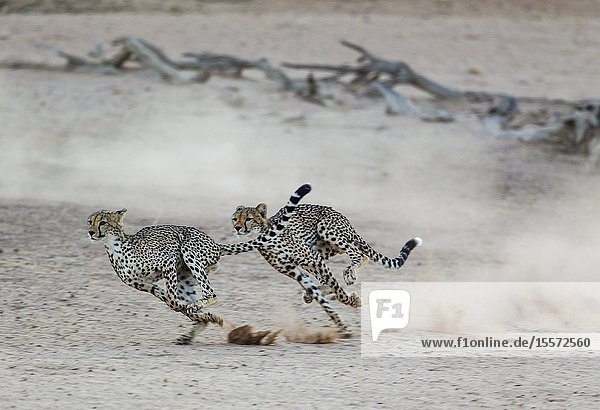 Cheetah (Acinonyx jubatus). Two playful subadult males in the dry and barren Auob riverbed. During a severe drouight. Kalahari Desert  Kgalagadi Transfrontier Park  South Africa.