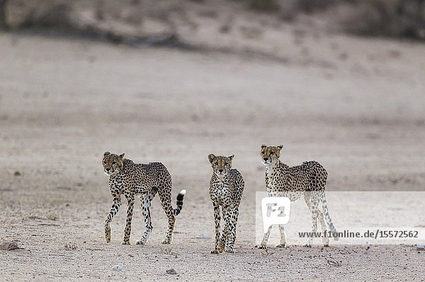 Cheetah (Acinonyx jubatus). Female on the right and her two subadult male cubs in the dry and barren Auob riverbed. During a severe drouight. Kalahari Desert  Kgalagadi Transfrontier Park  South Africa.