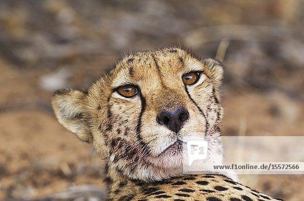 Cheetah (Acinonyx jubatus). Subadult female. Has been feeding on a springbok (Antidorcas marsupialis). Kalahari Desert  Kgalagadi Transfrontier Park  South Africa.