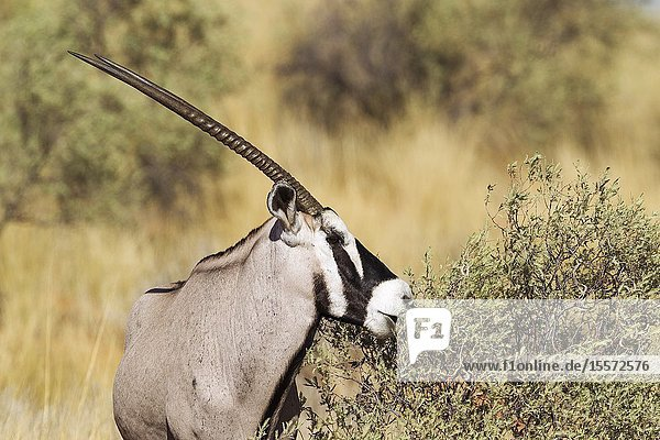 Gemsbok (Oryx gazella). Male. Feeding. Kalahari Desert  Kgalagadi Transfrontier Park  South Africa.