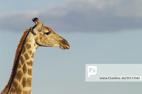 Southern Giraffe (Giraffa giraffa). Female. Kalahari Desert  Kgalagadi Transfrontier Park  South Africa.