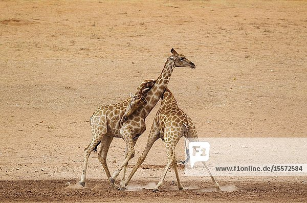 Southern Giraffe (Giraffa giraffa). Fighting males in the dry and barren Auob riverbed  raising a lot of dust. Kalahari Desert  Kgalagadi Transfrontier Park  South Africa.