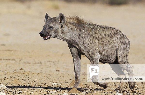 Spotted Hyaena (Crocuta crocuta). Walking towards a waterhole. Kalahari Desert  Kgalagadi Transfrontier Park  South Africa.