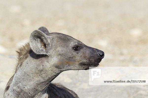 Spotted Hyaena (Crocuta crocuta). Portrait. Kalahari Desert  Kgalagadi Transfrontier Park  South Africa.
