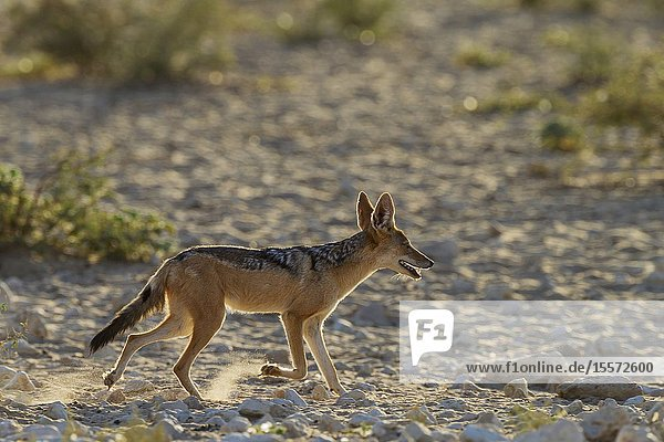 Black-backed Jackal (Canis mesomelas). Has been drinking at a waterhole. Kalahari Desert  Kgalagadi Transfrontier Park  South Africa.