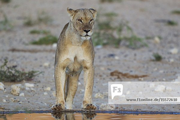 Lion (Panthera leo). Female at a man-made waterhole. At dawn. Kalahari Desert  Kgalagadi Transfrontier Park  South Africa.